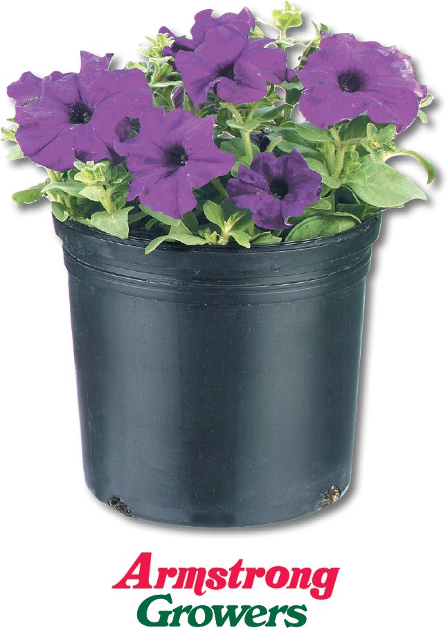 $5.99 1 Gal. Petunia Constant burst of color. Full sun. (870080)