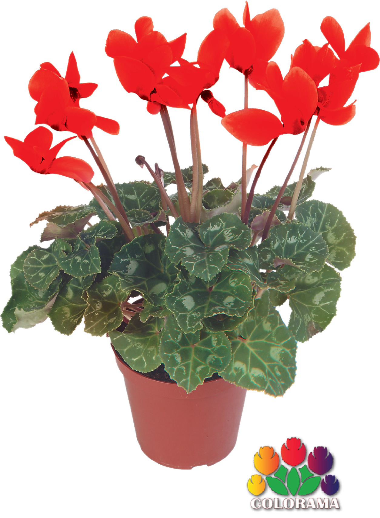 """$3.99 4"""" Cyclamen Profuse blooms in a bushy, compact plant. Great for shade.  (873857)"""